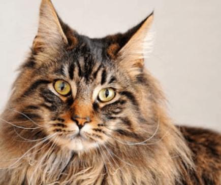 Harga-Kucing-Maine-Coon-dan-Lokasi-Beli-di-Indonesia
